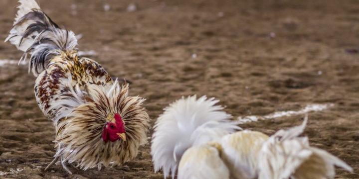 Permainan Live Dan Chat Live Di Judi Sabung Ayam